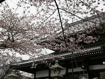 2015043温泉寺桜.JPG