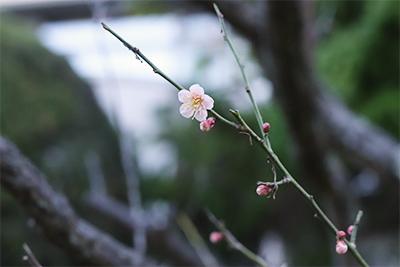 梅の花が咲きはじめました