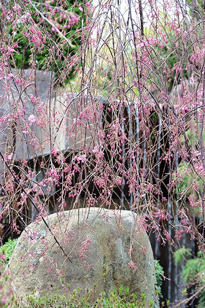 20200403紅枝垂れ桜.jpg