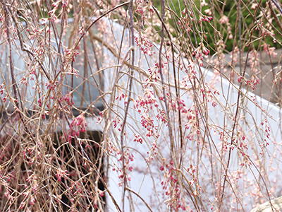 1904039階桜.jpg