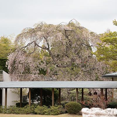 9階桜.jpg