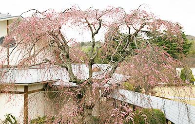 9F桜?全体.jpg