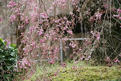 9F桜.jpg