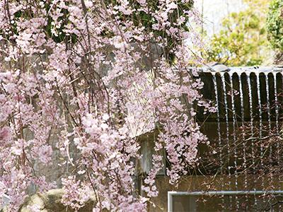 9F桜と滝.jpg