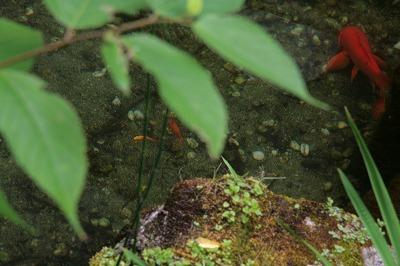 赤ちゃん鯉.jpg