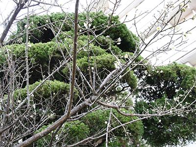 10階梅の木.jpg
