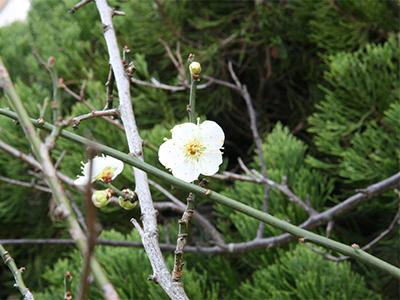 10階梅の花.jpg
