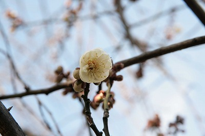s-吉高屋横の梅.jpg